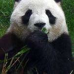 Macau Giant Panda Pavilion - Panda(a)