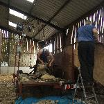Shearing time June 2011