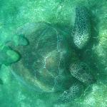 Sea Turtle with ramora fish