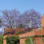 Jacaranda Trees over Suite Cielo