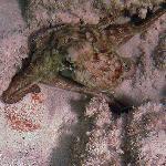 Octopus mimics color of the bottom, Secreet Beach, Vieques