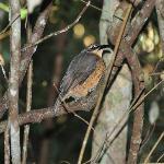 Victoria's Riflebird seen from our verandah