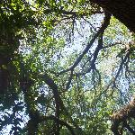 Huge Oak Limbs Overhead