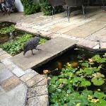 A friendly guinea fowl on the restaurant terrace