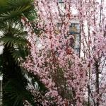 albero fiorito davanti alla finestra della camera