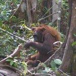 Orang utan mamma e figlio