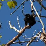 Howler monkey on the ranch.