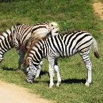Zebras at Addo