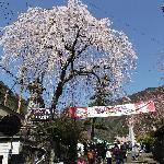 三門前の石段(いよいよ桜の始まり)