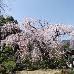祖師堂前のしだれ桜(真っ盛り)