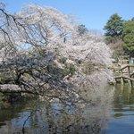 アスレチックの池の桜