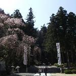参道のしだれ桜