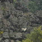 Mountain goat at Tam Coc