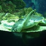 Aquarium Pyramid - Swimming Tortoise