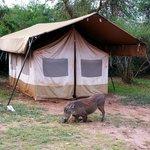 Resident Warthogs