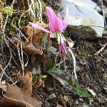 <i>Erythonium dens-canis</i> ; Dente di Cane ; Dogstooth Violet
