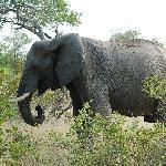 Lone elephant at Umlani