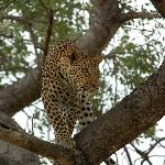Leopard at Umlani