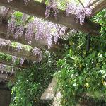 Wisteria blossoms by the estate pool