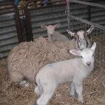 a ewe and her lambs