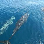 Spelende dolfijnen rondom de boot richting Isla Coiba