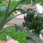 На территории отеля растут бананы, гранаты, кедровые орехи и много много цветов.