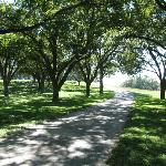 The beautiful pecan orchard lining the driveway