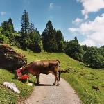 Cows have the right of way
