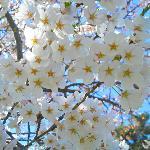 Beautiful Cherry Blossoms @High Park