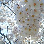A bunch of Cherry Blossoms