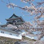 天守と桜のコントラスト、春の和歌山城は更に美しい