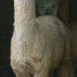 Island Alpaca Company of Martha's Vineyard Foto