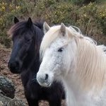 Killiechronan Pony Trekking Isle of Mull