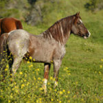 Mystic, a Hart Mountain Stallion from Oregon