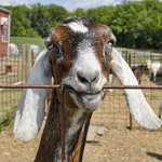 Poplar Goat Farm Tours