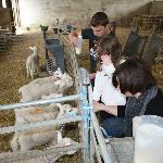 feeding lambs in the barn