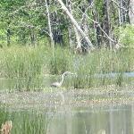 Heron on the lake