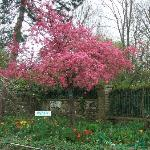 Flowering Tree - Giverny