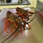 fruits of my labours - two Kaikoura crays