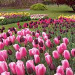 Tulips at Hershey Gardens