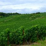 ブドウ畑が広がっています
