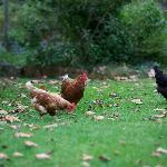 Friendly resident free-range chickens