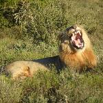a lion yawning