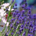 Cheristow Lavender