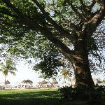 UN Corotu arbre de 160 ans le plus belle arbre que j'ai vu de ma vie sur le site