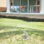 Iguana outside balcony
