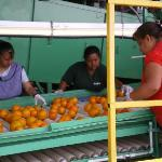 Sorters inspect the fruit.