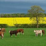 cattle in front of house