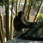 Monkeys on our car (photo without zoom)