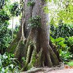 amazonic trees